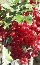 Produkt wyjściowy — dojrzały owoc